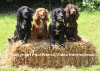 Cocker Spaniel Training